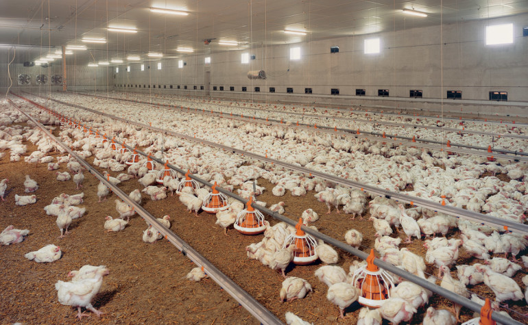 Synthetic betaine: Functional alternative in broiler nutrition