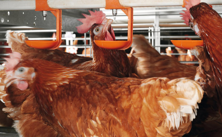 Evaluating Water Quality for Poultry
